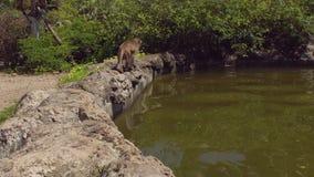 De Macaqueaap drinkt water van een vijver Aapeiland, Vietnam stock footage