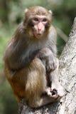 De aap van Macaque Stock Afbeeldingen