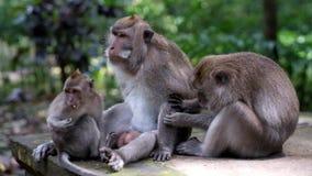 De macaquefamilie zit en rust Het wijfje kamt het bont van haar echtgenoot en onderzoeken naar parasieten stock footage