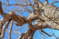 De machtige takken van de oude baobabboom stock afbeelding