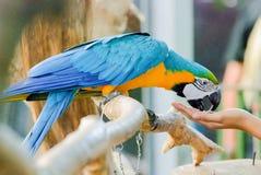 De Macorevogel eet voedsel stock foto