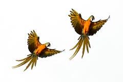 De Macorevogel vliegt stock foto's