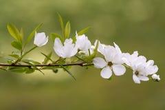 ` De macrantha d'Exochorda X que le ` de jeune mariée fleurit Photographie stock libre de droits