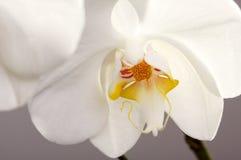 De macro Bloesem van de Bloem van de Orchidee stock fotografie