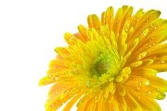 De macro oranje macro van gerberabloemen Stock Afbeelding