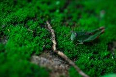 De macro schoot detail van kleine sprinkhaan op groen gras Insectecologie Klein dier in de wereld De cyclus van het sprinkhanen`  stock fotografie