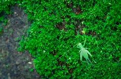 De macro schoot detail van kleine sprinkhaan op groen gras Insectecologie Klein dier in de wereld De cyclus van het sprinkhanen`  royalty-vrije stock foto's