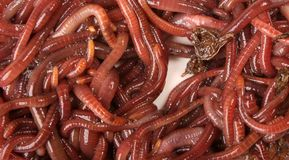 De Macro van de aardworm Stock Foto's