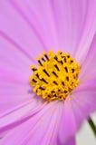 De macro van de bloem Royalty-vrije Stock Afbeeldingen