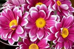 De macro van de chrysant Royalty-vrije Stock Foto