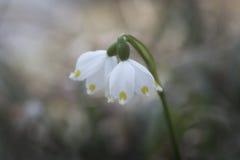 De macro van de de tweelingenbloem van de lentesneeuwvlokken Stock Foto