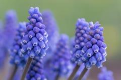 De macro van de druivenhyacint stock afbeelding