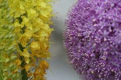 De Macro van de gele en Lavendelbloem Royalty-vrije Stock Afbeeldingen