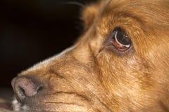De macro van de hondneus Stock Foto