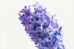 De macro van de hyacintbloem Royalty-vrije Stock Foto's