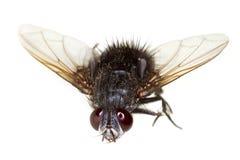 De Macro van de paardevlieg stock afbeeldingen