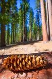 De macro van de sequoiadenneappel in het Bosje van Yosemite Mariposa Royalty-vrije Stock Fotografie