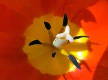 De macro van de tulp stock afbeeldingen