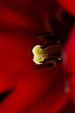 De macro van de tulp Royalty-vrije Stock Foto's