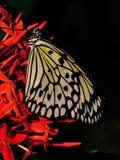 De macro van de vlinder Stock Afbeelding