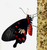 De Macro van de vlinder Stock Foto's