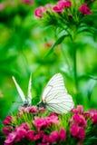 De macro van de vlinderanjer royalty-vrije stock afbeelding