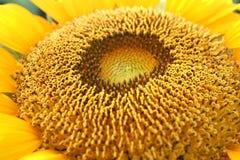 De macro van de zonnebloem Stock Afbeeldingen