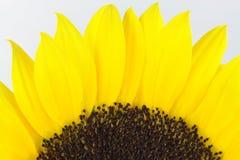 De macro van de zonnebloem. Stock Afbeeldingen