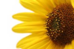 De macro van de zonnebloem over wit Royalty-vrije Stock Afbeelding