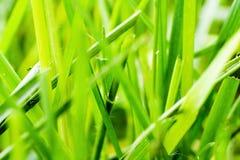 De macro van het gras Stock Foto's