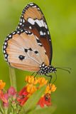 De macro van het lieveheersbeestje en van de vlinder Stock Afbeelding