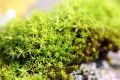 De macro van het mos royalty-vrije stock fotografie