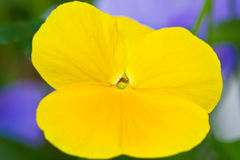 De Macro van het viooltje Royalty-vrije Stock Afbeeldingen