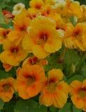 De macro van de Oostindische kersorchidee verlaat seizoenkleur het oranje bloemblaadje van de de herfstzomer het bloemenblad van  Royalty-vrije Stock Fotografie
