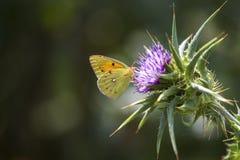 De macro van de vlinderclose-up in aard royalty-vrije stock fotografie