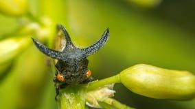 De macro van Vreemde treehopper is klein insect in aard Stock Afbeeldingen