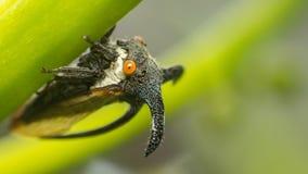 De macro van Vreemde treehopper is klein insect in aard Royalty-vrije Stock Foto