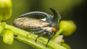 De macro van Vreemde treehopper is klein insect in aard Stock Foto's