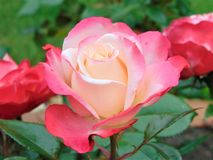 De macrofoto met een decoratieve textuur als achtergrond van mooie tuin bloeit rozen Royalty-vrije Stock Afbeeldingen