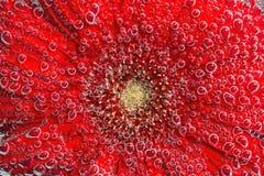 de macrofoto van gerberabloem in het mineraalwater dat borrelt behandelde bloemblaadjes Royalty-vrije Stock Foto's