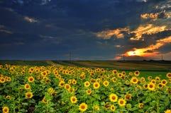 De magische zonsondergang over zon bloeit gebied Stock Afbeelding