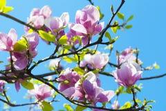 De magnolia bloeit boom stock afbeeldingen