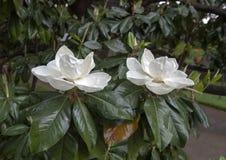 De magnolia bloeit close-upmening, met lichte regen Royalty-vrije Stock Afbeeldingen
