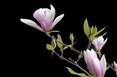 De magnolia bloeit op zwarte achtergrond - kleurrijke bloeiende de lentebloemen van struiken en bomen royalty-vrije stock fotografie