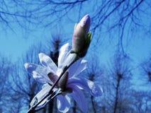 De magnolia bloeit tegen de blauwe hemel en de bomen in het park, de lente stock foto