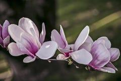 De magnolia bloeit wit en roze royalty-vrije stock afbeelding