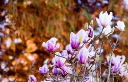De Magnolia in kunmingï ¼ ŒChina Stock Afbeelding