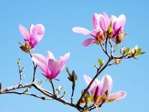 De Magnolia van de Tysonshoek komt 2010 tot bloei Royalty-vrije Stock Fotografie