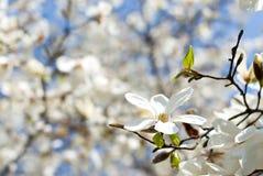 De magnolia van Kobushi Stock Afbeeldingen