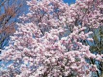 De magnolia van Washington komt Maart 2010 tot bloei Stock Fotografie
